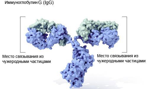 Строение молекулы иммуноглобулина