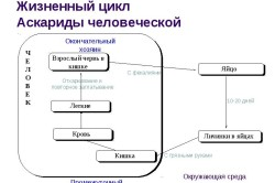 Жизненный цикл аскариды человеческой