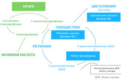 Роль гомоцистеин в синтезе метионина