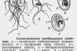 Схематическое изображение лямблий