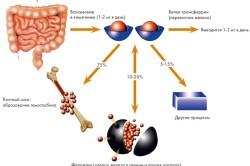 Распределение железа в организме