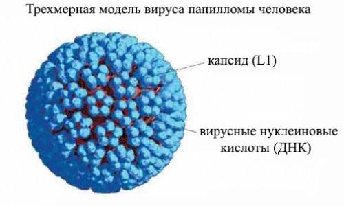 Строение вируса папилломы человека