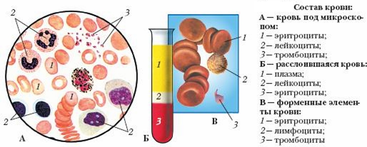 Анализ на эозинофилы в крови общий анализ крови монокуляры